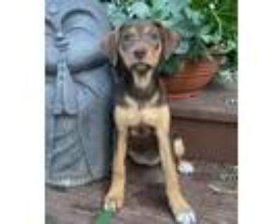 Adopt Briar a Labrador Retriever, Hound