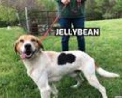 Adopt Jellybean a Hound