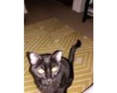 Adopt Max a All Black American Shorthair / Mixed (short coat) cat in Norcross