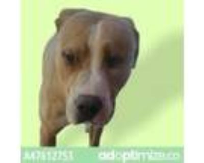 Adopt Duke a Brown/Chocolate American Pit Bull Terrier / Mixed dog in El Paso