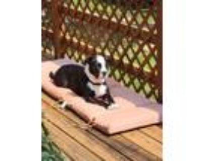 Adopt Lexie a Pit Bull Terrier