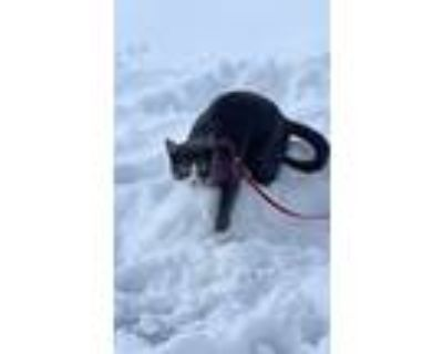 Adopt Optima a Gray or Blue (Mostly) Domestic Shorthair / Mixed cat in