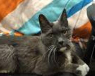 Adopt Ren a Gray or Blue Domestic Shorthair / Mixed cat in Boulder