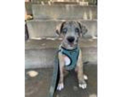 Adopt Monica Culpepper a Great Dane dog in Merrifield, VA (31649836)