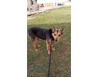 Adopt Foxy a Australian Cattle Dog / Blue Heeler, Terrier