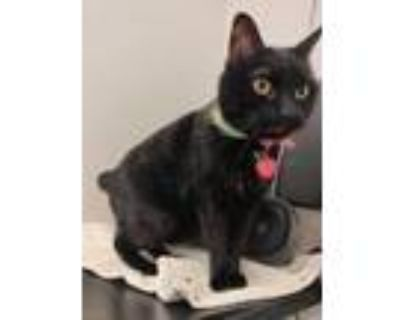 Adopt Banksy a All Black Domestic Shorthair / Domestic Shorthair / Mixed cat in