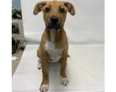 Lewis, Labrador Retriever For Adoption In Columbia, Missouri