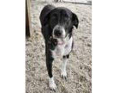 Adopt Estella a Black Labrador Retriever / Mixed dog in Norfolk, VA (31349724)
