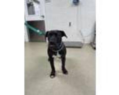 Adopt Headrix a Brindle Mastiff / Mixed dog in Fort Worth, TX (31565273)