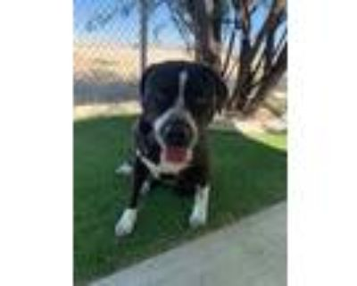 Adopt STEPHANIE a Black - with White American Pit Bull Terrier / Mixed dog in