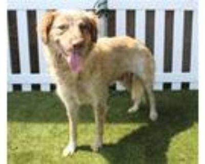 Adopt a Merle Australian Shepherd / Mixed dog in Modesto, CA (31676232)