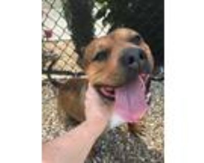 Adopt Tank a Tan/Yellow/Fawn American Pit Bull Terrier / Mixed dog in