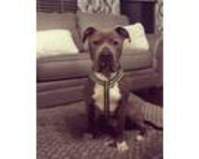 Adopt Barea a Terrier, Pit Bull Terrier