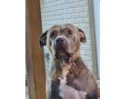 Adopt Gizmo a Gray/Silver/Salt & Pepper - with White American Pit Bull Terrier /