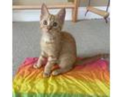 Adopt Danny a Orange or Red Domestic Shorthair / Mixed cat in Gibsonia