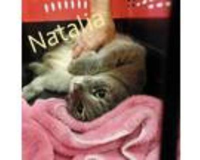 Adopt Natalia a Domestic Short Hair, Tabby