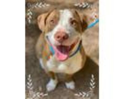 Adopt MUNCH a Brown/Chocolate - with White Pit Bull Terrier / Basset Hound /