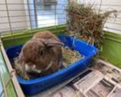 Adopt *POPS a Fawn Other/Unknown / Mixed rabbit in Brighton, CO (32105958)
