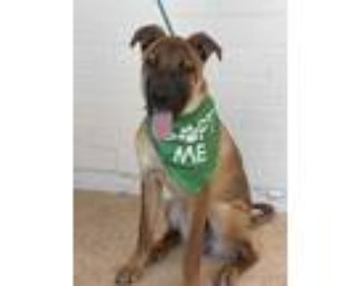 Adopt Charlie a Brown/Chocolate - with Black Belgian Malinois / Mixed dog in