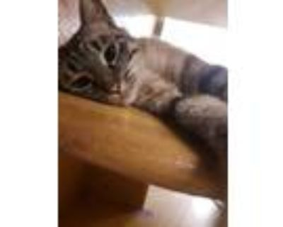 Adopt Sally a Gray or Blue Siamese / Domestic Shorthair / Mixed (short coat) cat