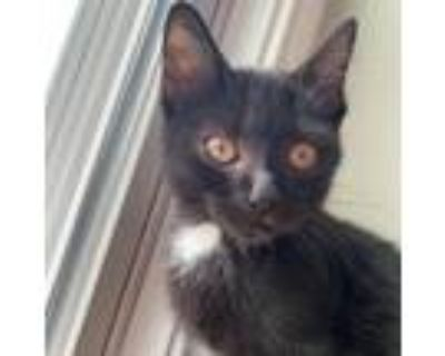 Adopt Billie a All Black Domestic Shorthair / Mixed cat in Gibsonia
