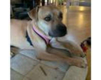 Adopt Sadie Pearl a Boxer / Mixed dog in Staten Island, NY (31976137)