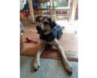 Adopt Gumbo a Black - with Tan, Yellow or Fawn German Shepherd Dog / Shepherd