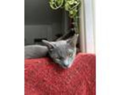 Adopt Patty and Selma a Gray or Blue American Shorthair (short coat) cat in Los