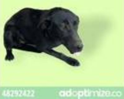 Adopt 48292422 a Black Shepherd (Unknown Type) / Mixed dog in El Paso