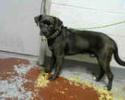Adopt GUNNER a Black Labrador Retriever / Mixed dog in Atlanta, GA (31560163)