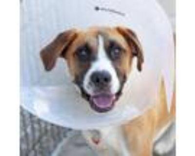 Adopt Joni a Brown/Chocolate Labrador Retriever / Mixed dog in Atlanta