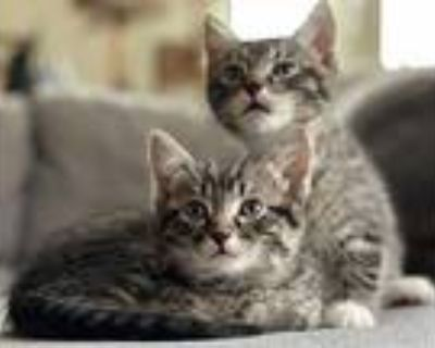 Holmes And Watson, Domestic Shorthair For Adoption In Los Angeles, California