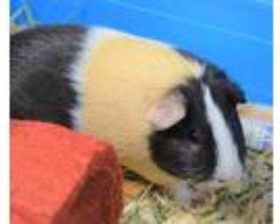 Adopt Cookie a Tan or Beige Guinea Pig / Guinea Pig / Mixed small animal in