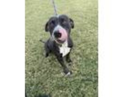 Adopt 48688640 a Black American Pit Bull Terrier / Mixed dog in Fort Worth