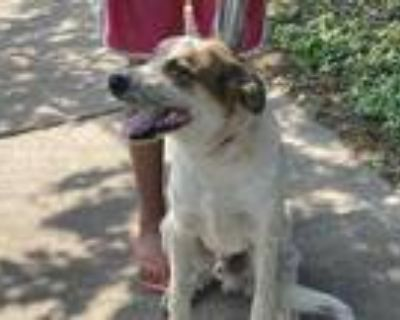 Adopt 48002431 a White Retriever (Unknown Type) / Mixed dog in Fort Worth