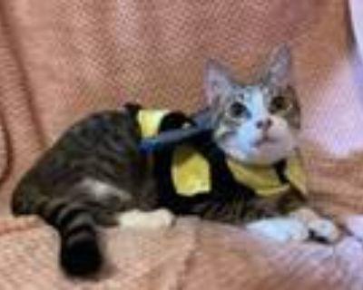 Adopt Squirt Kitten a Domestic Short Hair