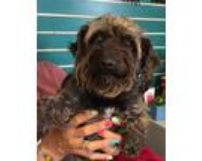 Adopt lucy a Black - with Gray or Silver Standard Schnauzer / Toy Poodle / Mixed