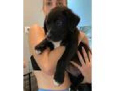 Adopt Ethel a Labrador Retriever, Australian Cattle Dog / Blue Heeler