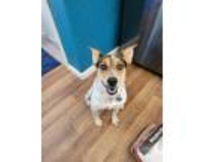 Adopt Cricket a Blue Heeler / Australian Shepherd dog in Denver, CO (31775277)