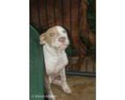 Adopt Bo-Puppy Mill Survivor a Pit Bull Terrier
