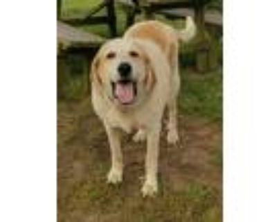 Adopt Woogee a White - with Red, Golden, Orange or Chestnut Great Pyrenees /