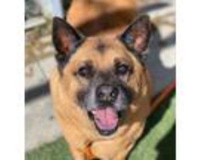 Adopt Troy a Brown/Chocolate - with Black Akita / Chow Chow / Mixed dog in