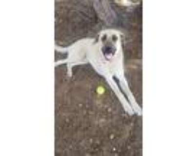 Adopt Sadie a Tan/Yellow/Fawn German Shepherd Dog / Mastiff / Mixed dog in Los