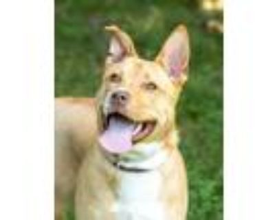 Adopt Ice Ice Baby (East Campus) a Tan/Yellow/Fawn Retriever (Unknown Type) /