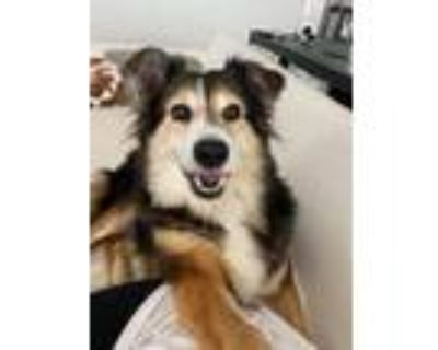 Adopt Baby a Black - with Tan, Yellow or Fawn Collie dog in Colorado Springs