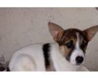 Adopt Janaa a White - with Red, Golden, Orange or Chestnut Border Collie /