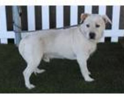 Adopt a White - with Brown or Chocolate Norfolk Terrier / Westie