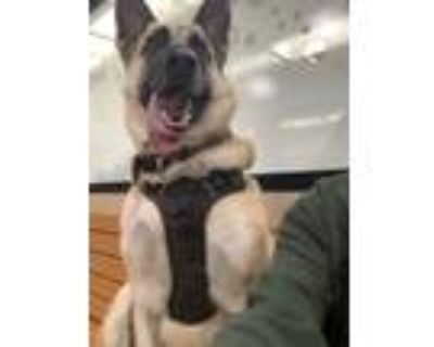 Adopt Jackson a Black - with Gray or Silver German Shepherd Dog / Mixed dog in