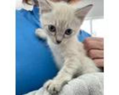 Adopt LANNA MILLER a White (Mostly) Domestic Shorthair / Mixed (short coat) cat