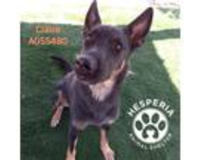 Adopt SERGEANT a Black - with Tan, Yellow or Fawn German Shepherd Dog / Mixed